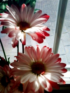 Author's picture of Christmas daisies