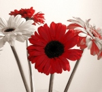 black-red-and-white-daisies