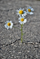 daisies-growing-in-concrete-crack