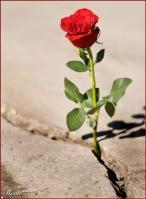 rose-growing-in-concrete-crack